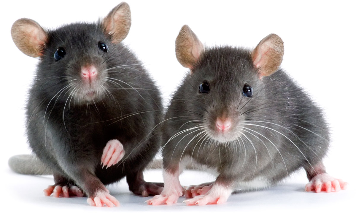 can rats live alone